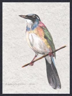 BracypteraciidaeAfrica